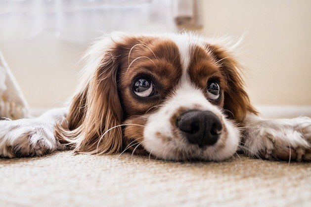 Dog lying on floor patiently waiting