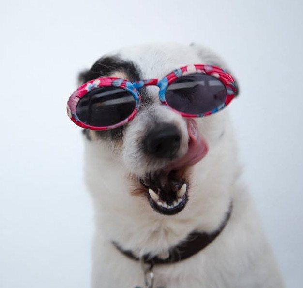 White dog wearing pink & blue sunglasses